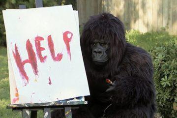 पेंटिंग जरिए गोरिल्ला ने मांगी इंसानों से मदद।