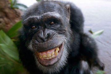 चिंपाजी होते हैं इंसानों से भी अधिक स्वार्थी, जानिए क्यों